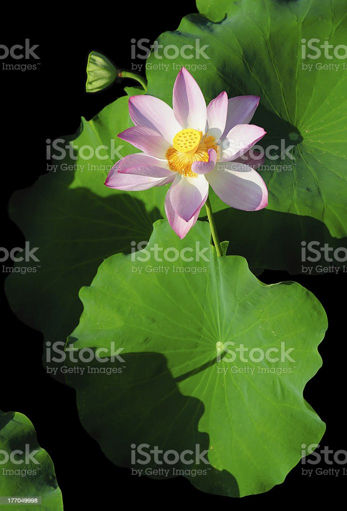 Blooming Lotus with leaves Isolated royalty-free stock photo