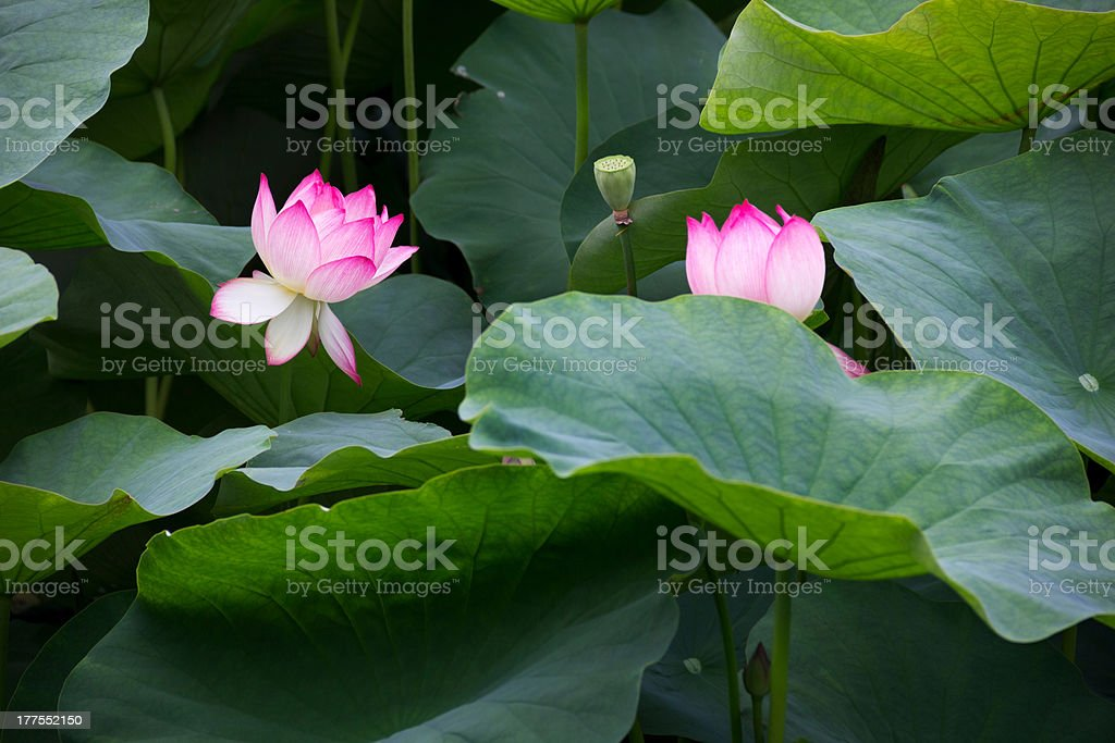 Blooming Lotuses and Leaves royalty-free stock photo