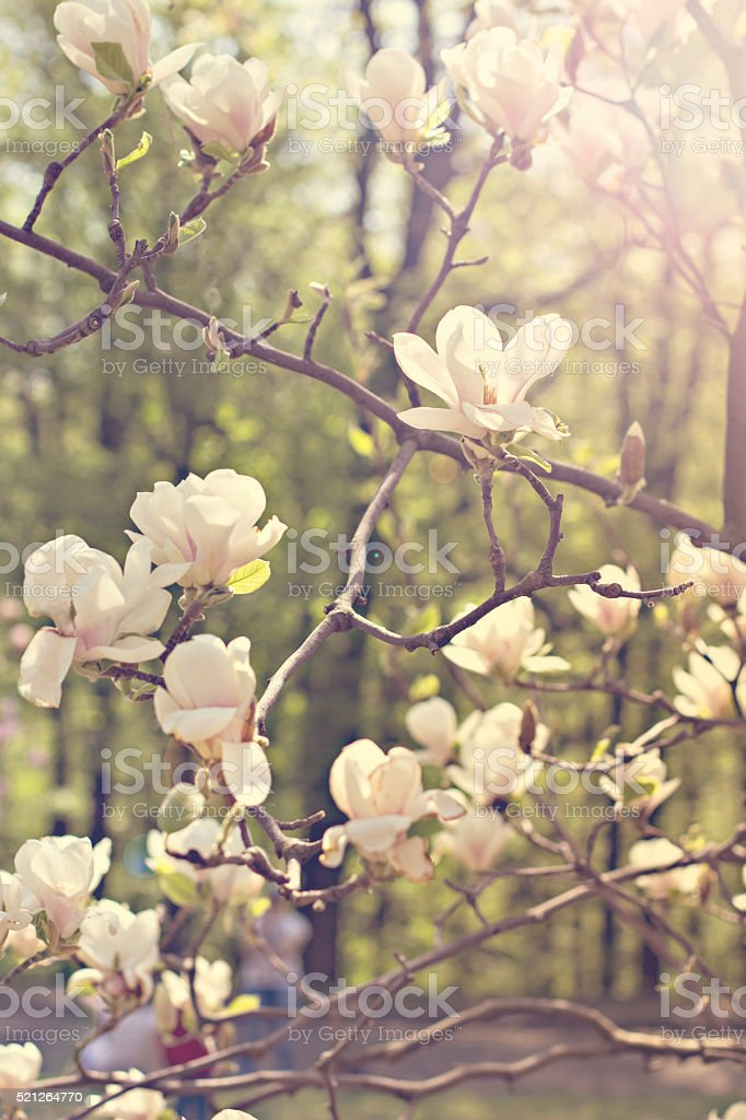 Blooming magnolia branch on a tree in the garden. stock photo