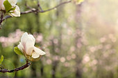 Blooming magnolia branch on a tree in the garden.