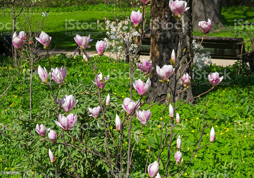 Blooming magnolia bush stock photo