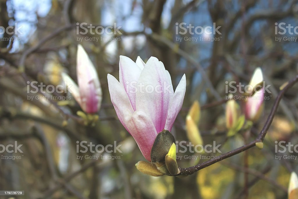 Blooming magnolia in a spring garden royalty-free stock photo
