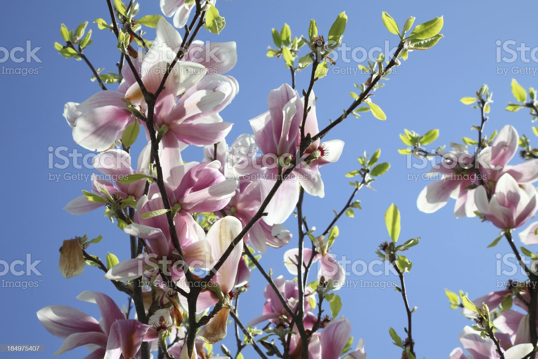blooming magnolia in spring time royalty-free stock photo