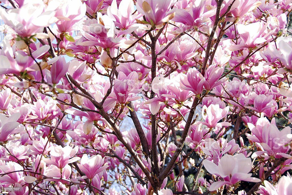 Blooming magnolia royalty-free stock photo