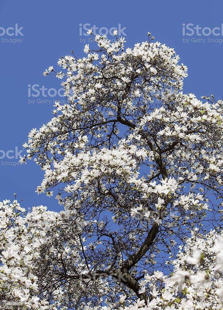 Blooming magnolia  tree royalty-free stock photo