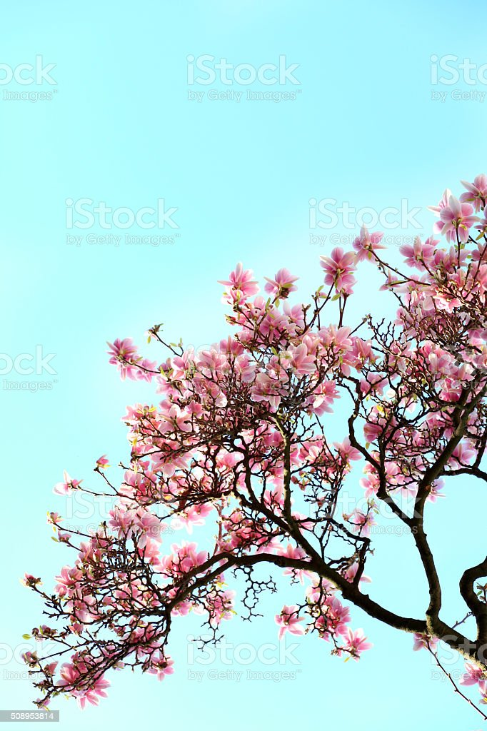Blooming magnolias in spring stock photo