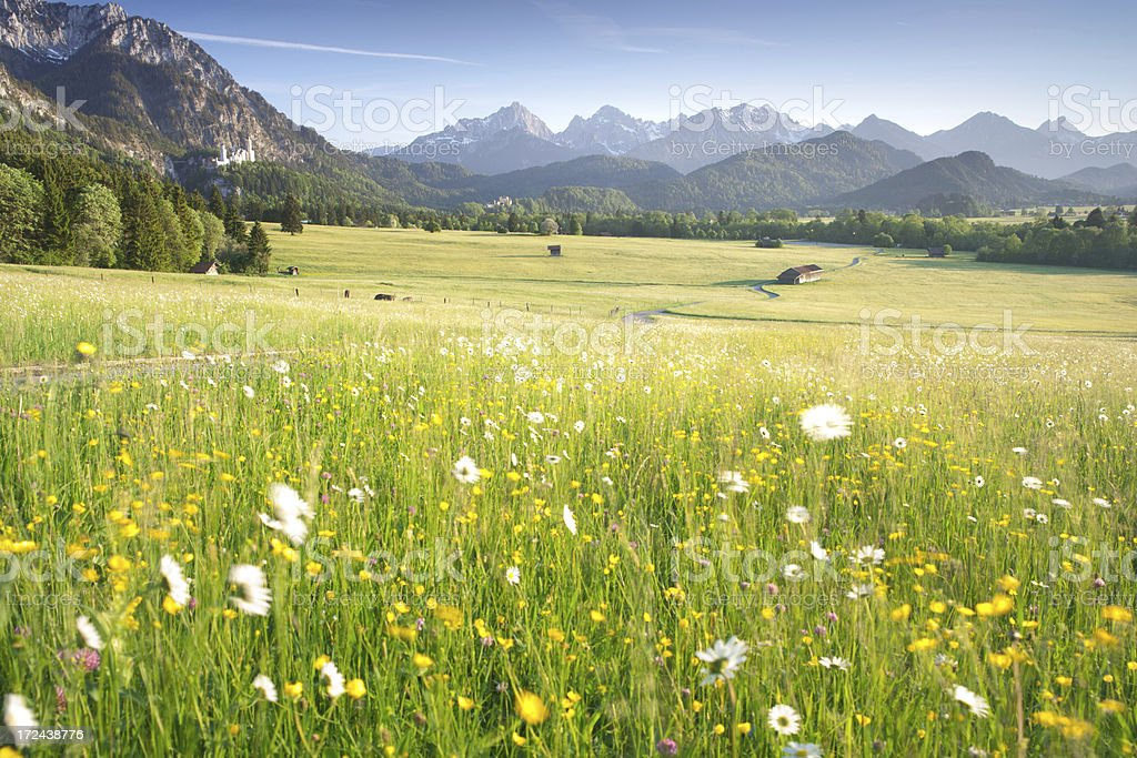 blooming meadows, bavarian ostallgäu, bavaria, germany, view on the alps stock photo