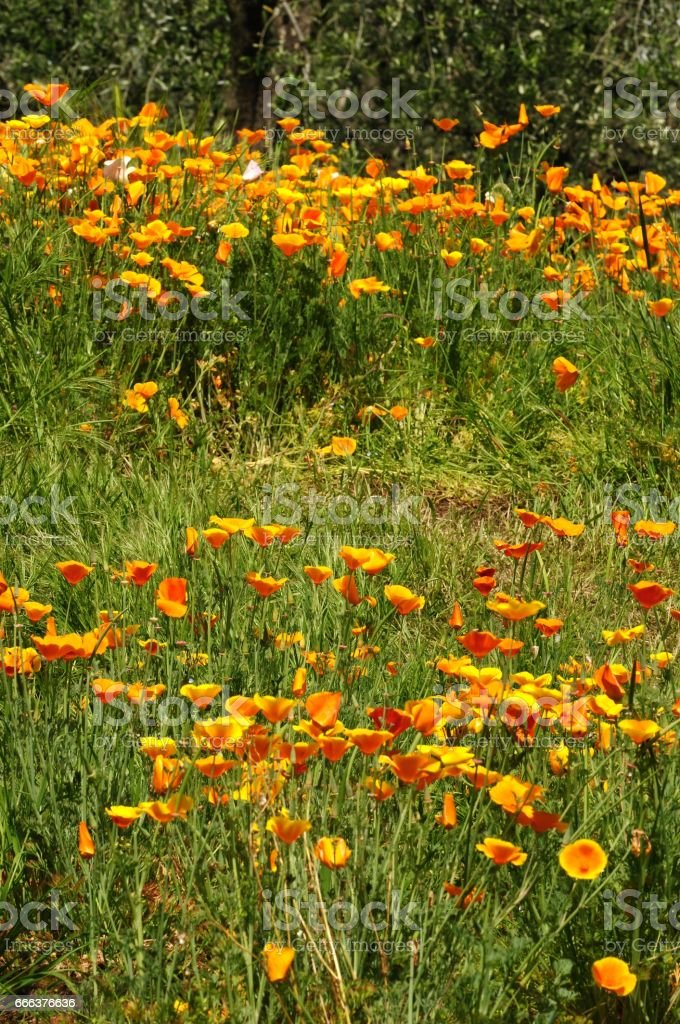 Blooming Mexican Gold Poppies in a garden in Florence stock photo