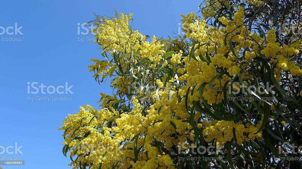 Florecer mimosa en la primavera en las Algarve- Bild foto de stock libre de derechos
