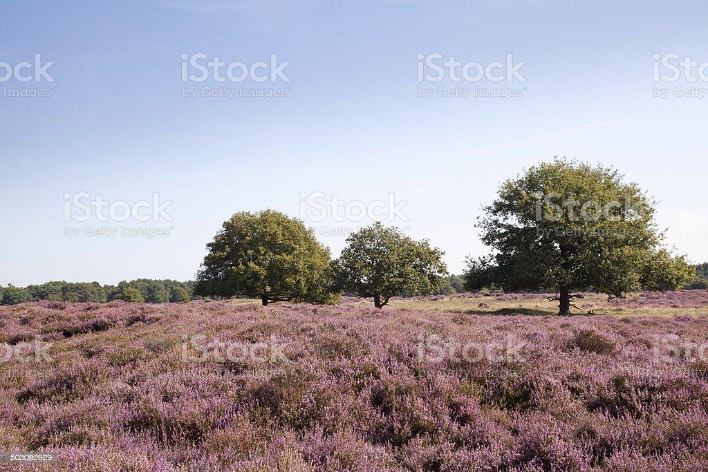 Blooming moor royalty-free stock photo