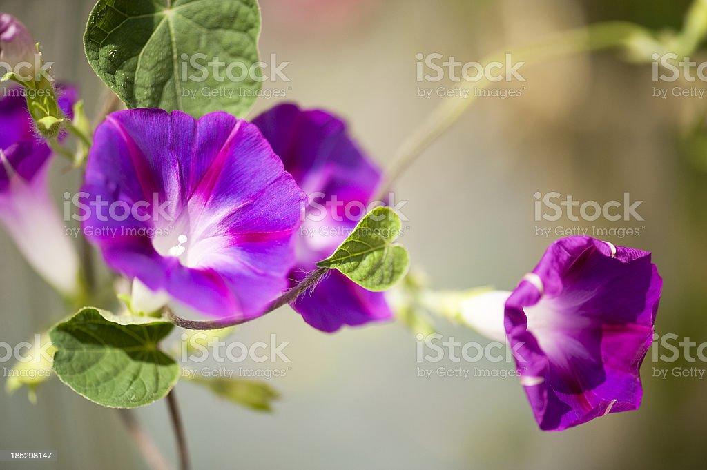 Blooming Morning Glories stock photo