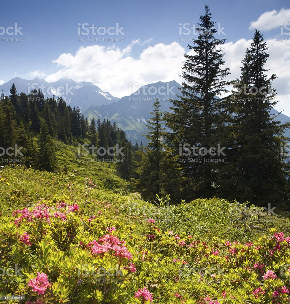 blooming mountain azalea - schröcken pass, vorarlberg, austria stock photo