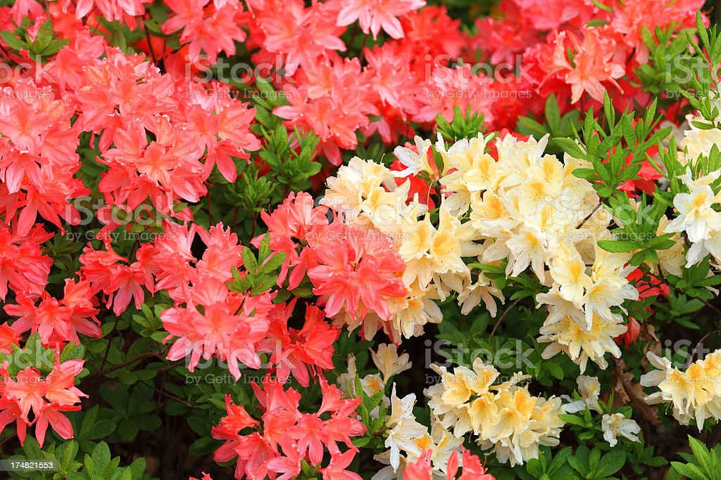 Blooming Multicolored Rhododendron royalty-free stock photo