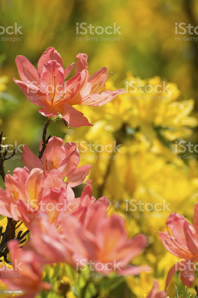 Blooming Multicolored Rhododendron - XXXL royalty-free stock photo