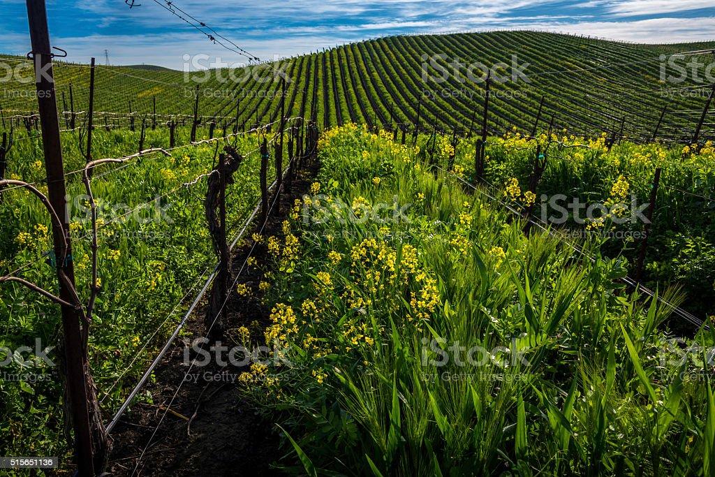 Blooming mustard crop stock photo