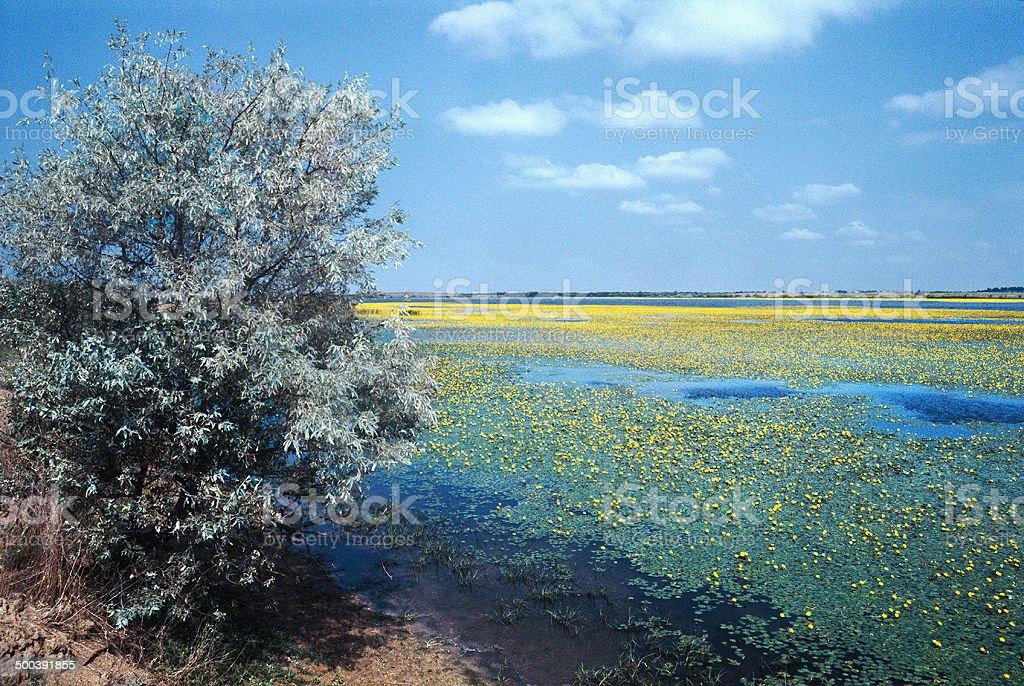 Blooming Nimfeynik (lat. Nymphoides). royalty-free stock photo