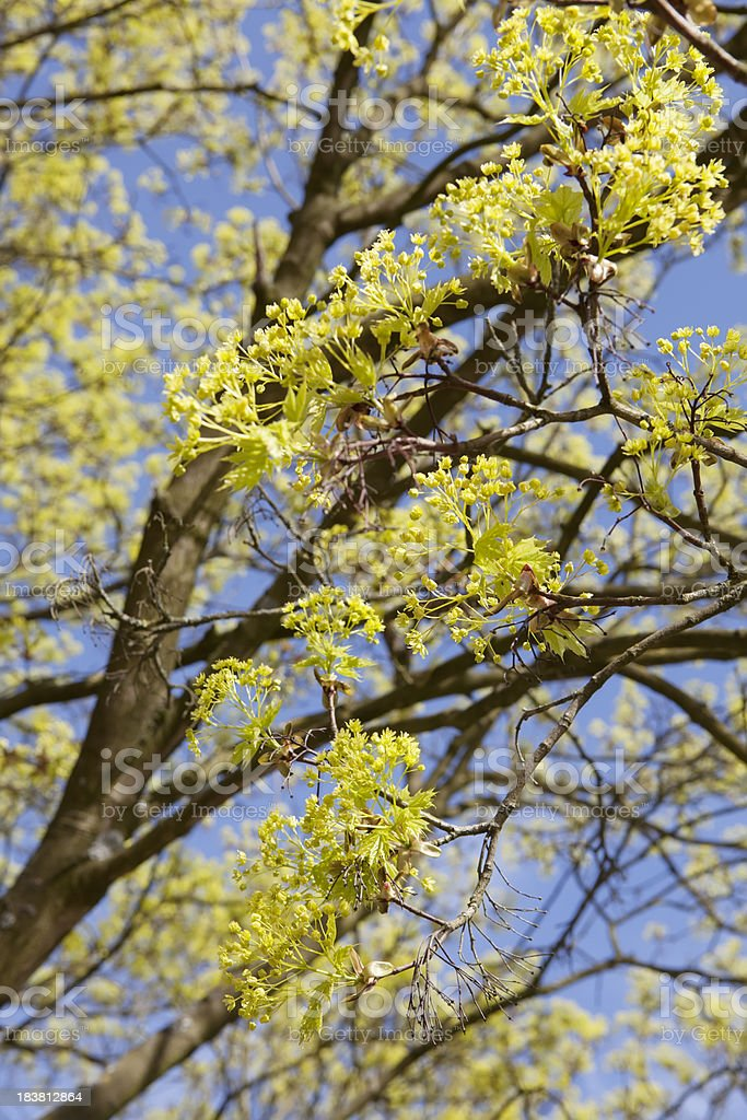 Blooming Norway Maple (Acer platanoides) against Blue Sky royalty-free stock photo