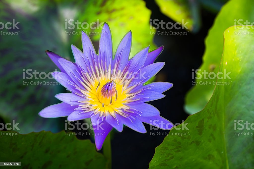 Blooming of lotus flower with the background of green leaves stock photo