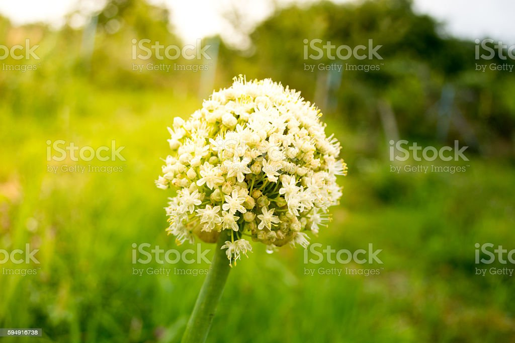 Blooming of onion flower head stock photo