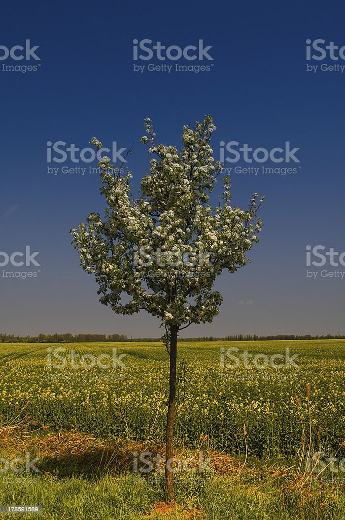 Blooming of Rapeseed field nearby Magdeburg stock photo