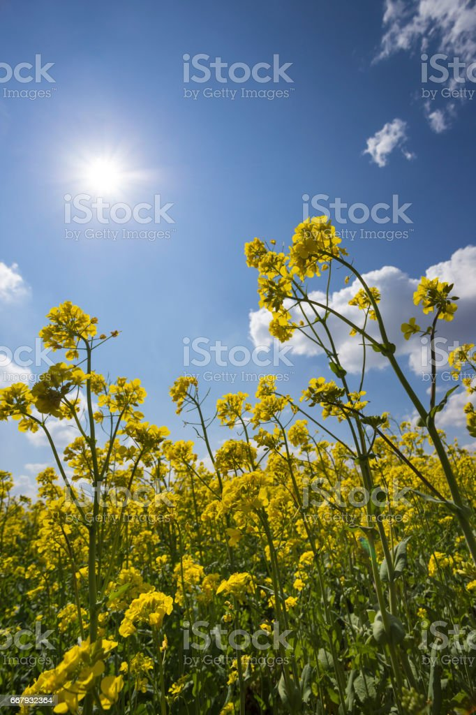 Blooming oilseed rape or canola plant on sunny springtime day stock photo