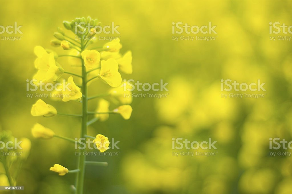 Blooming OilSeed Rape stock photo