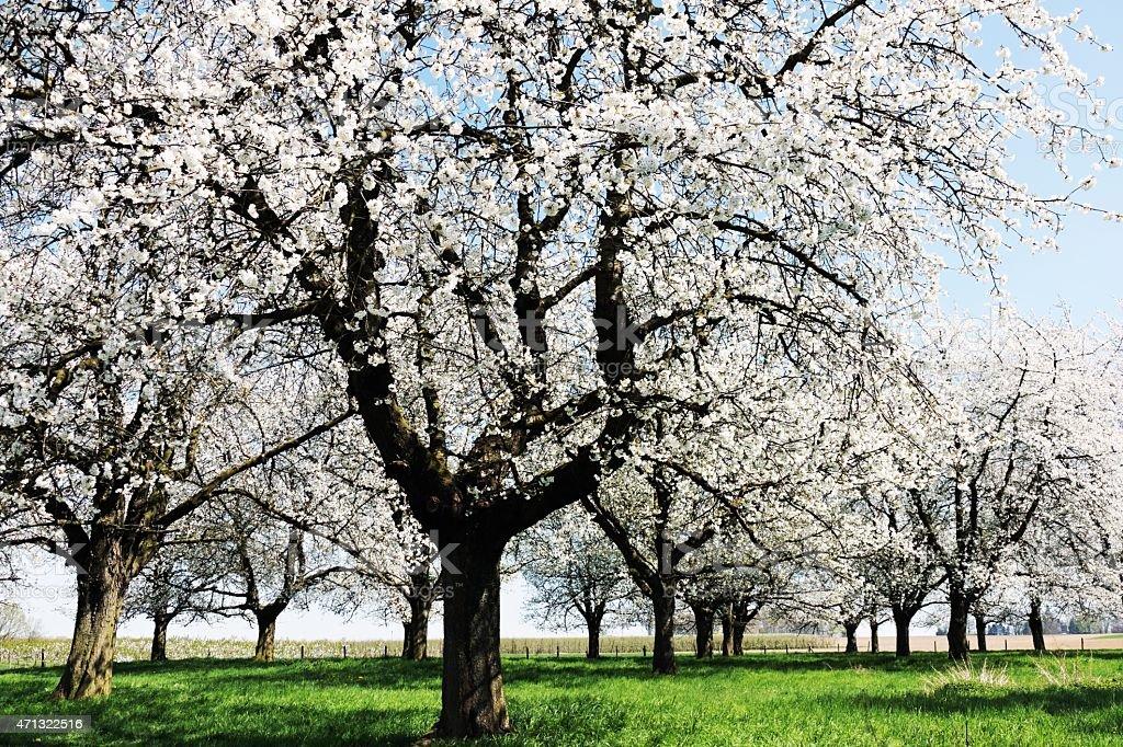 Blooming old cherry trees in Haspengouw,Belgium stock photo