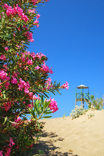 Image result for oleander plant at the beach