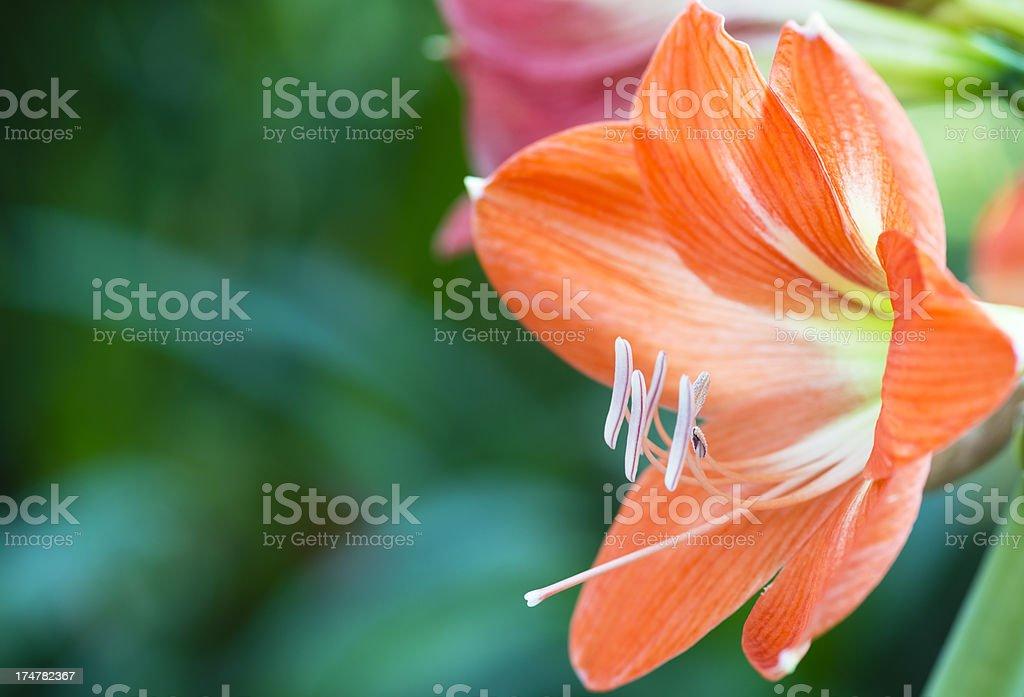 Blooming Orange Amaryllis royalty-free stock photo