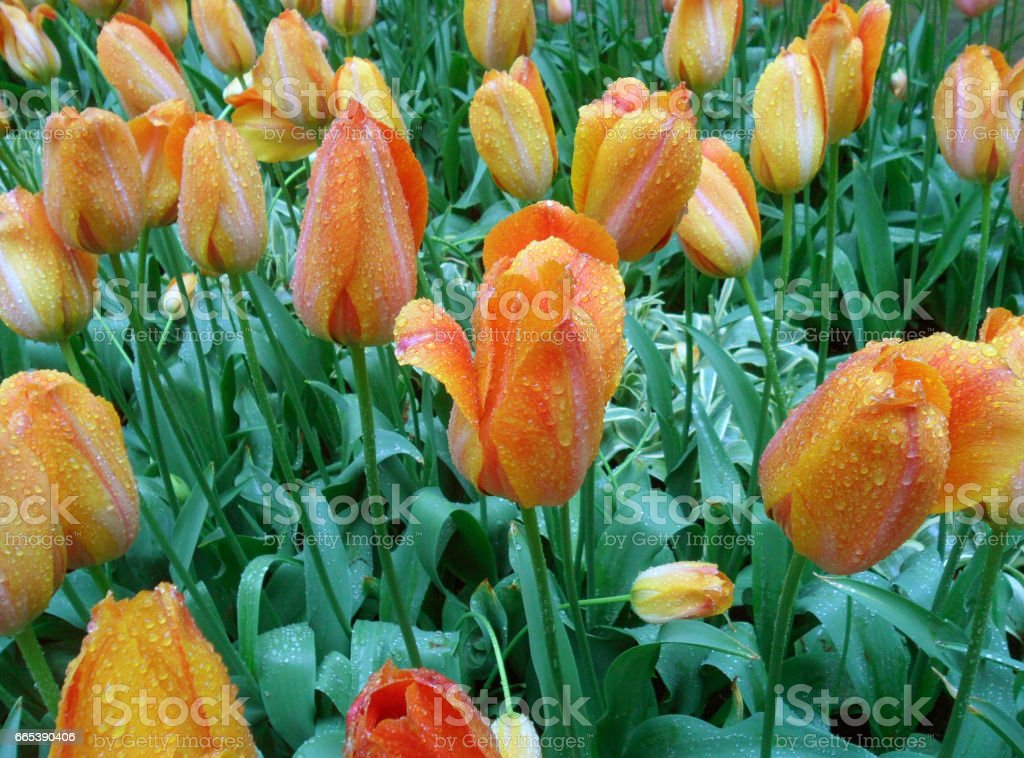Blooming Orange and Yellow Two-Tone Color Tulip Flowers in the Spring Shower stock photo