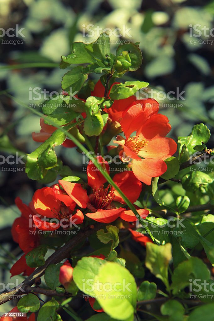 Blooming orange flowers of Japanese quince stock photo