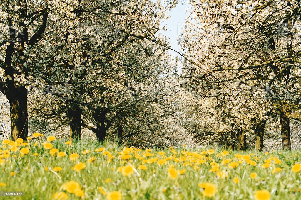 Blooming orchard in spring stock photo