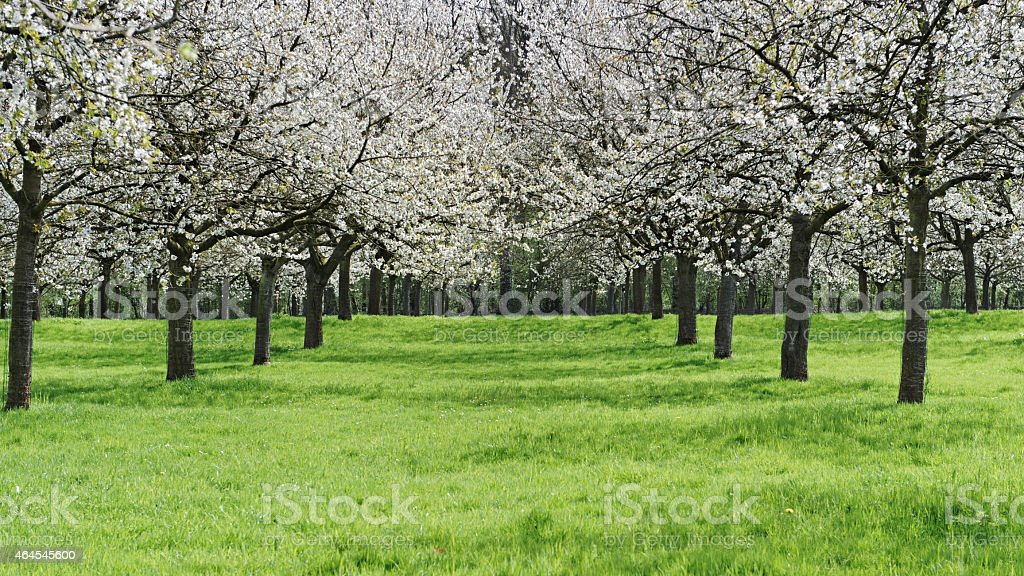 Blooming orchard in the province of Limburg in Belgium stock photo