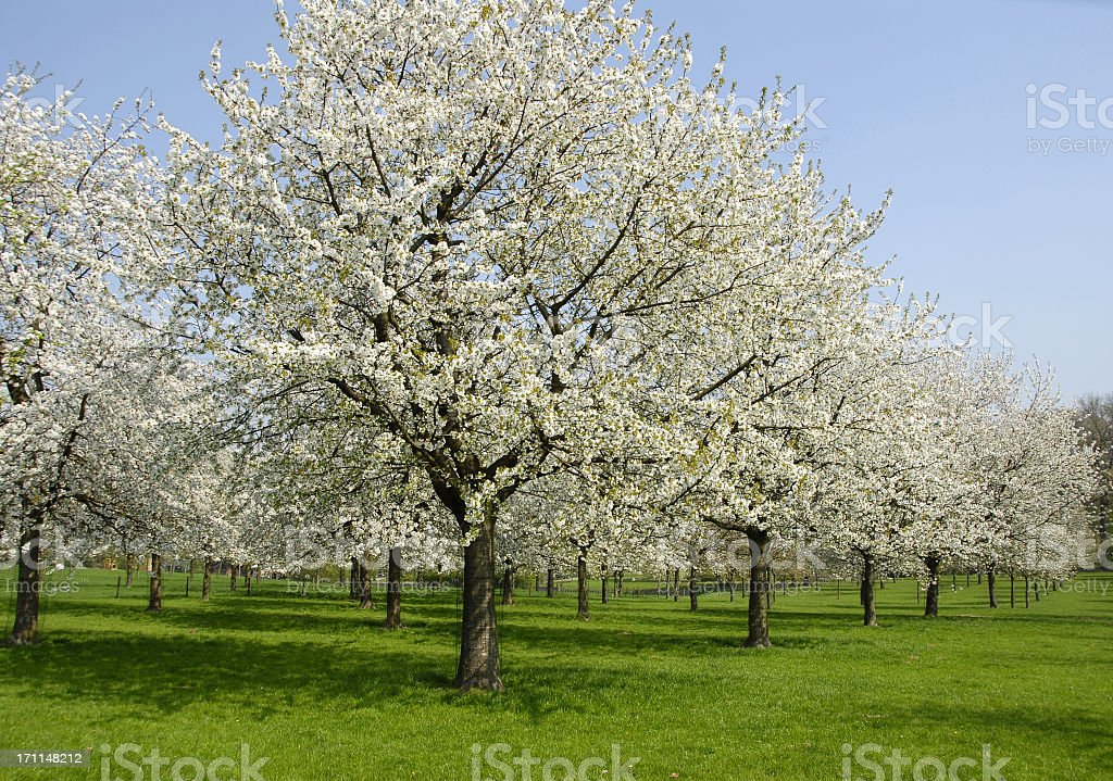 Blooming orchard royalty-free stock photo