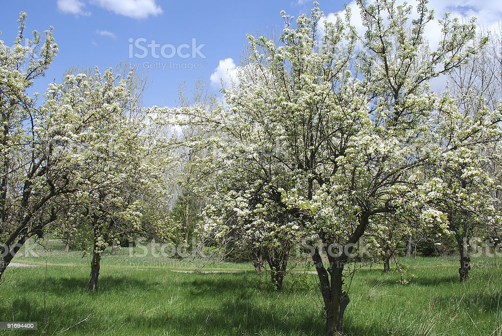 Blooming orchard stock photo