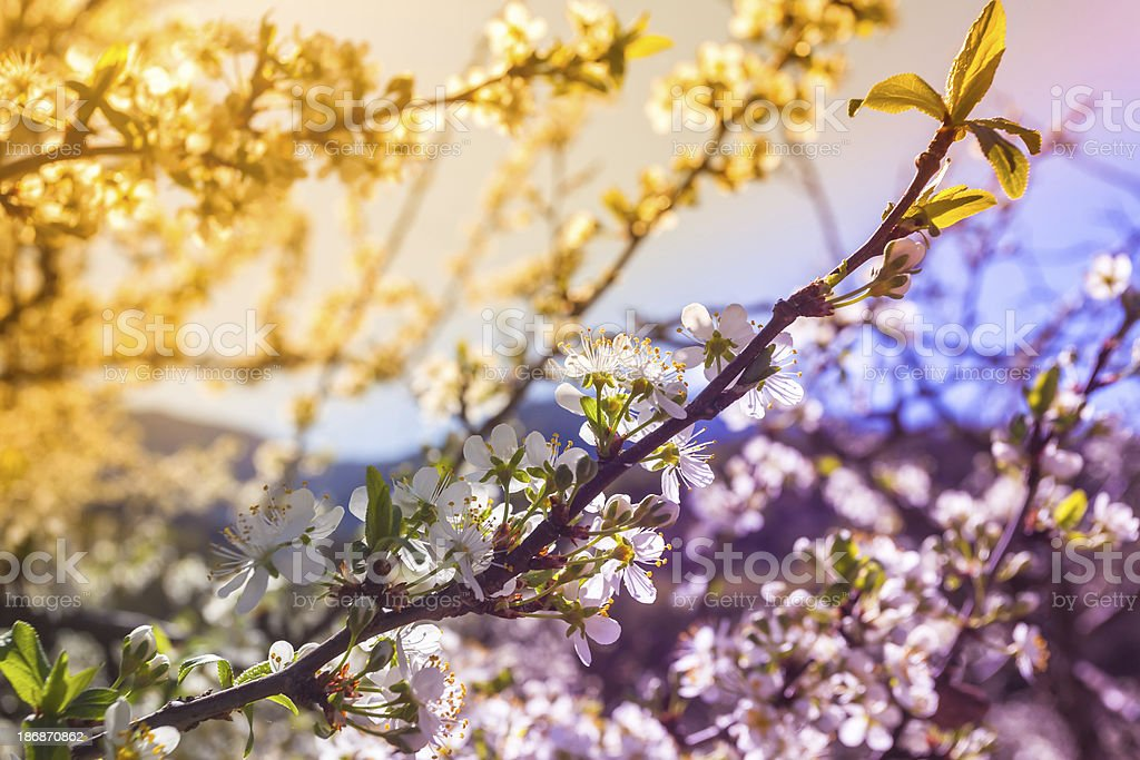 Blooming Orchard Trees in Spring royalty-free stock photo