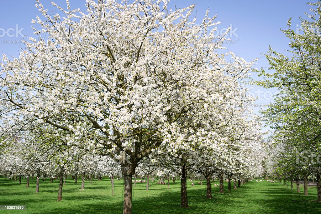 Blooming orchard with fruit trees in spring, Flanders,Belgium stock photo