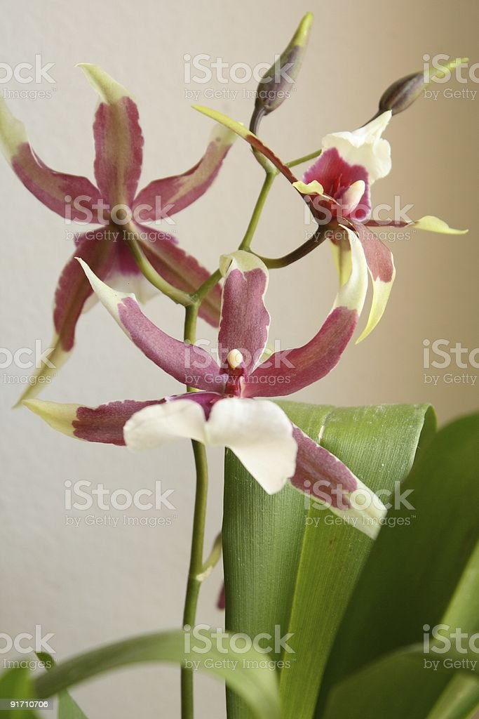 Blooming orchid royalty-free stock photo