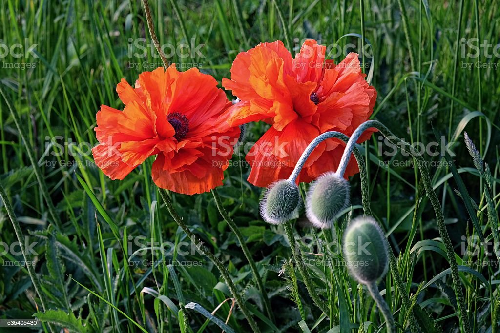 blooming oriental poppies and their buds stock photo