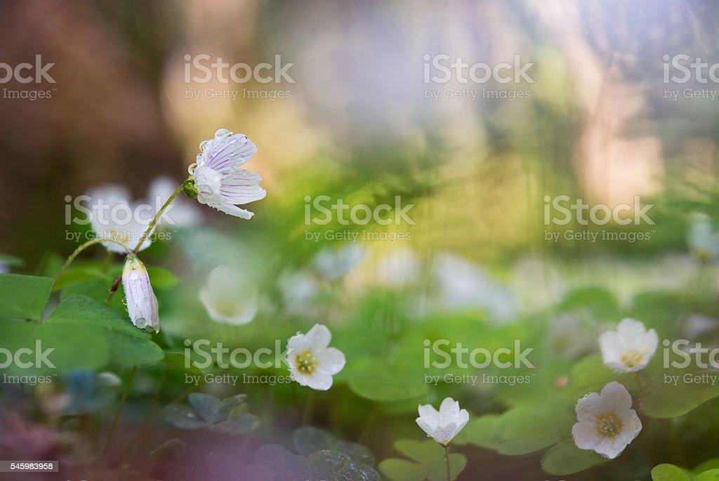 Blooming Oxalis in the woods in the rain. stock photo