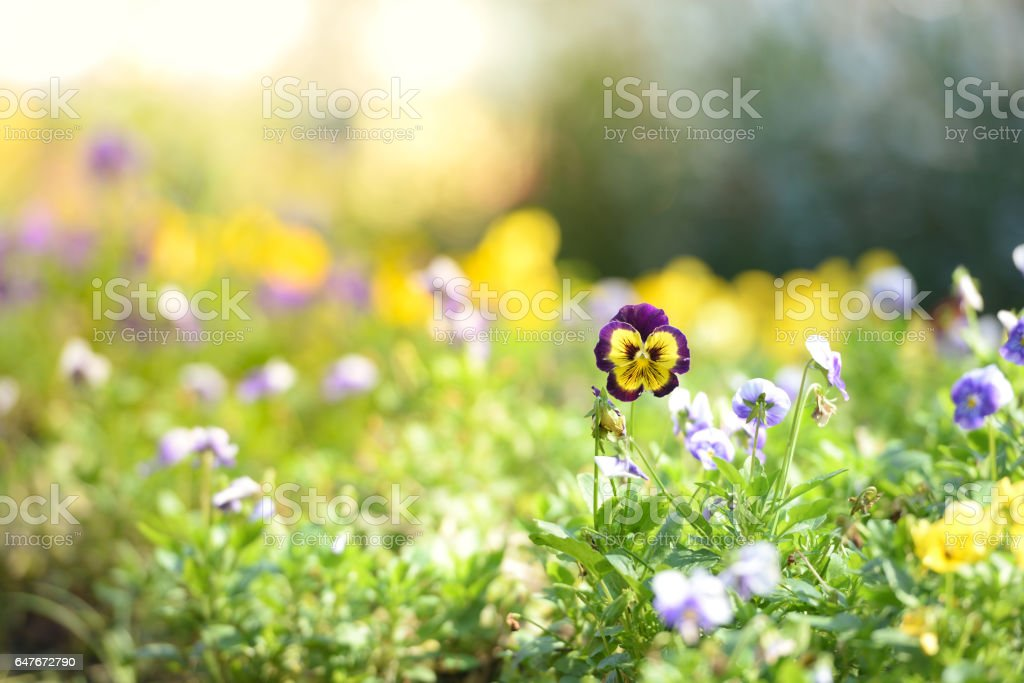 Blooming pansy flowers in garden. Spring or summer flower garden. Nature colorful background. stock photo