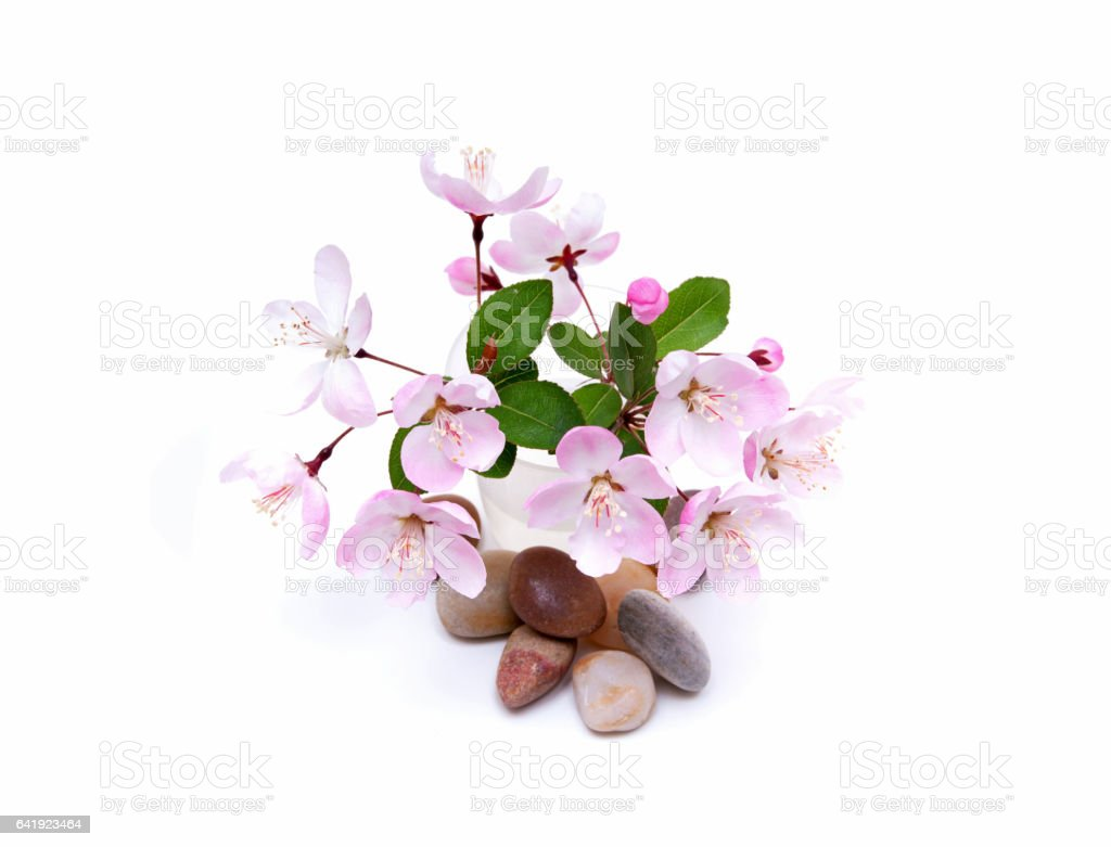 Blooming peach blossom and stones in spring isolated on white background stock photo