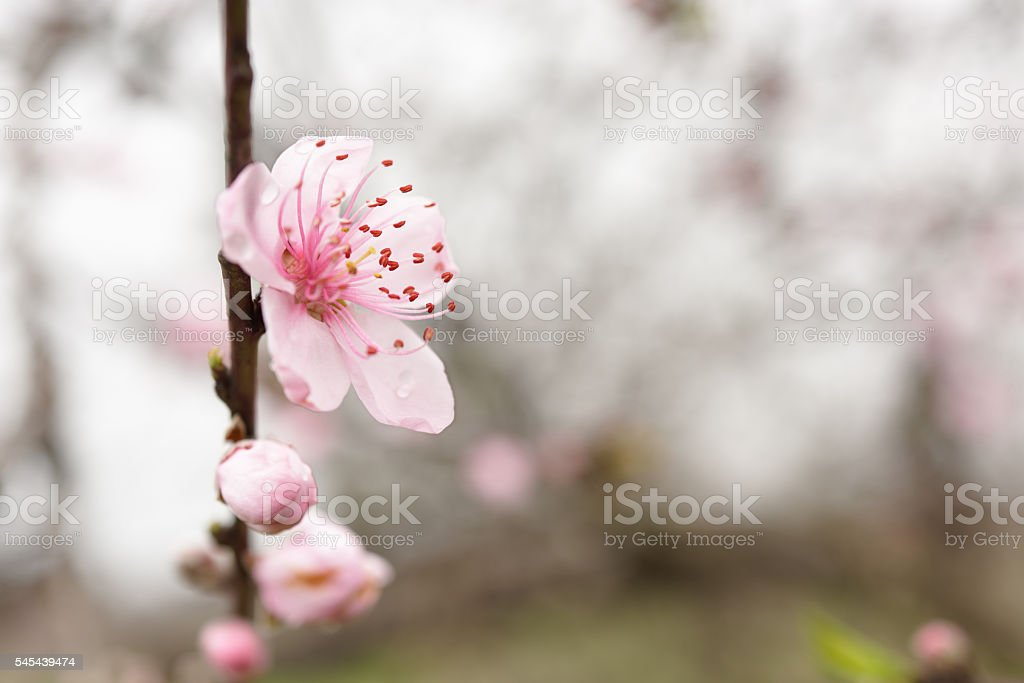 Blooming peach blossom in spring stock photo