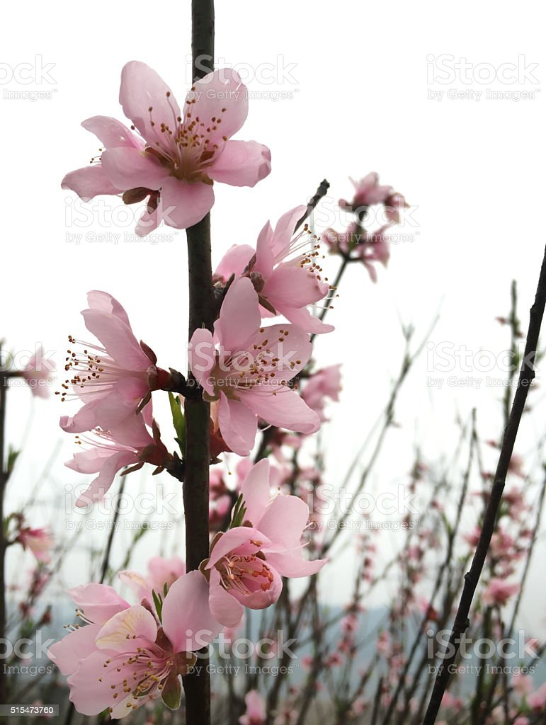 Blooming peach blossom twig in spring stock photo