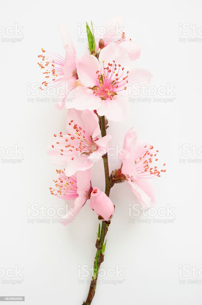 Blooming peach blossom twig isolated stock photo