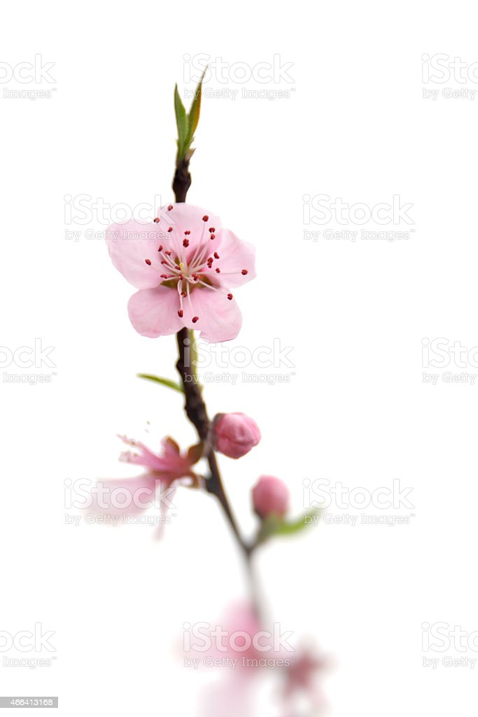 Blooming peach blossom twig stock photo