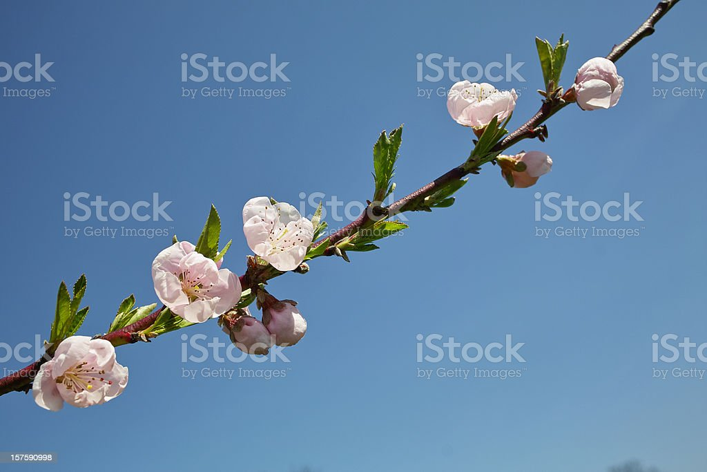 blooming peach tree in front of blue sky royalty-free stock photo