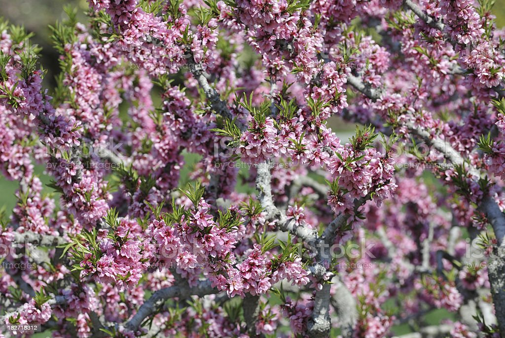 Blooming Peach Tree royalty-free stock photo