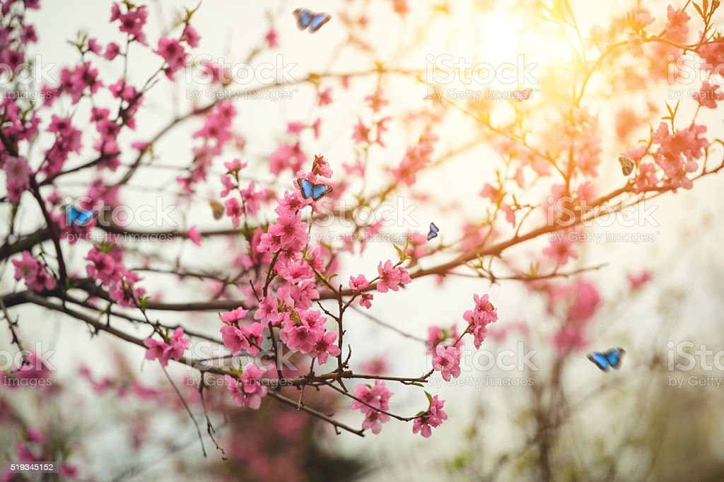 Blooming peach tree with butterflies stock photo