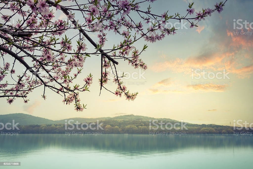 blooming peach trees near the lake stock photo